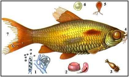 Болезнь от сырой рыбы у человека