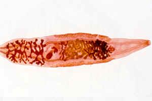 Заболевание рыбы опасное для человека